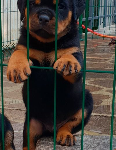cuccioli-lombardia-rottweiler
