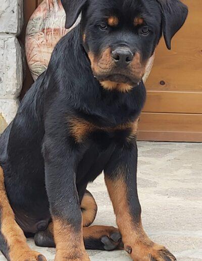 Maschio di rottweiler: DRAGAN VON WEISENSTADT